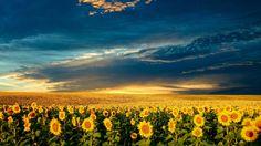 Magic Landscape Sunflower Garden Background HD desktop wallpaper