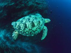 Green Sea Turtle A green sea turtle floats past a reef toward open waters near Palau in the Pacific Ocean. Green sea turtles are one of the most endangered animal species on the planet.