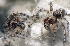 Live newborn lynx spiderlings Incredibly Small: Best Microscope Photos of the Year | Wired Science | Wired.com