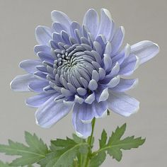 "New Photos japanese Chrysanthemum Thoughts Chrysanthemums, higher quality seeing that ""mums"" on their good friends, are usually late-season Japanese Chrysanthemum, Chrysanthemum Flower, Japanese Flowers, Chrysanthemum Drawing, Exotic Flowers, Blue Flowers, Beautiful Flowers, Art Floral, Flower Aesthetic"