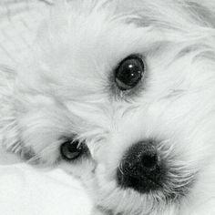 Our puppy Stella. Havanese Bichon