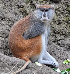 Patas Monkey (Erythrocebus patas) - photo from Illustrated Encyclopedia of the Animals (Russian website);  ...