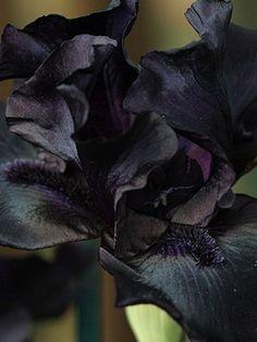 Dark Flowers, Iris Flowers, Exotic Flowers, Planting Flowers, Beautiful Flowers, Unique Plants, Exotic Plants, Cool Plants, Front Flower Beds