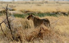 Lone lioness in the plains of Etosha NP  www.wildwindsafaris.com