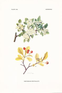 1919 Botany Print - Crataegus Spathulata - Littlehip Hawthorn - Vintage Antique Flower Art Illustration Book Plate for Framing
