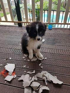 Seguro que con esa carita esra Border Collie no ha sido. #bordercollie #cachorro