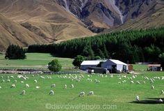 New Zealand's South Island -- Glentanner Station - sheep grazing below Mt. Cook.