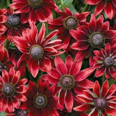 RUDBECKIA CHERRY BRANDY First ever red Rudbeckia. Robust plants are outstanding in the garden and bloom the whole summer long. Heat and drought proof and a sight to behold.