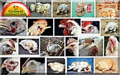 Cause & Prevention of Poultry Diseases – Growel Agrovet Poultry Diseases, Poultry Business, Financial Ratio, Cost Of Production, Poultry Farming, Factors, Monitor, Bench, Future