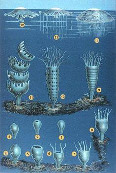 "The developmental stages of scyphozoan jellyfish's life cycle ~ From Schleiden M. J. ""Die Entwicklung der Meduse"". In: ""Das Meer"". Verlag und Druck A. Sacco Nachf., Berlin, 1869. Medusa, Portuguese Man O' War, Jellyfish Facts, Jellyfish Tank, Sea Anemone, Animal Facts, Marine Biology, Life Cycles, Whales"