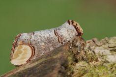 Foto: Jeroen Voogd | wapendrager, nachtvlinder
