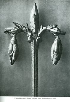 Find the latest shows, biography, and artworks for sale by Karl Blossfeldt. A teacher at the Royal Arts Museum in Berlin, Karl Blossfeldt became a celebrated… Karl Blossfeldt, Macro Photography Tips, Natural Form Art, Berlin, Photoshop, Paperclay, Abstract Shapes, Art Forms, Japanese