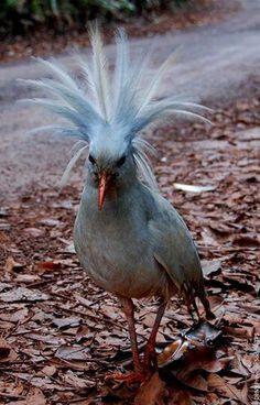 Connaissez-vous le Cagou? C'est une espèce endémique à la Grande Terre et il est l'emblème de la Nouvelle-Calédonie.