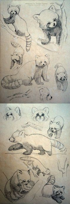 Red Panda sketches by Stasushka.deviant… on Red Panda sketches by Stasushka.deviant… on Pencil Drawings Of Animals, Animal Sketches, Drawing Sketches, Art Drawings, Drawing Animals, Drawing Ideas, Sketching, Drawing Tips, Panda Sketch