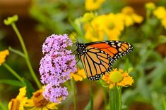 18 Amazing Plants That Will Repel Mosquitos ~ Bees and Roses Pruning Hydrangeas, Planting Flowers, Monarch Butterfly Migration, Landscape Design, Garden Design, Milkweed Plant, Plant Guide, Seed Paper, Beautiful Butterflies