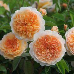 English rose 'Port Sunlight'