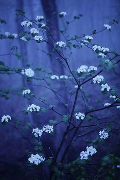 Blue on white blossoms.