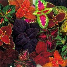 Coleus Rainbow Mix 20 Flower Seeds Shady Gardens by CheapSeeds