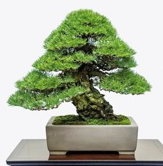 It's a Japanese black pine - 2014 Kokufu ten Bonsa Exhibition Mini Plantas, Terrariums, Pine Bonsai, Plantas Bonsai, Bonsai Styles, Indoor Bonsai, Miniature Trees, Bonsai Garden, Small Trees