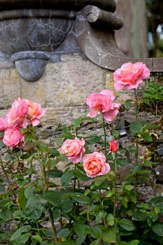 Roses at Mount Stewart Gardens, Strangford Lough, Ireland, created by Edith, Lady Londonderry, beginning in 1919.