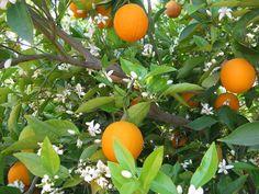 oranges- laranjeira flores e frutos