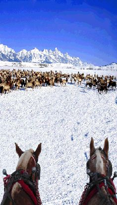 A great winter activity while in Jackson Hole - an authentic sleigh ride in the Jackson Hole Elk Refuge