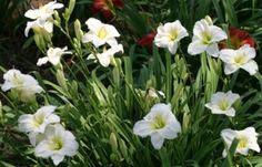 hemerocallis daylily gentle shepherd perennial sun lemon big white flowers low maintenance sun whistler pemberton super natural landscapes