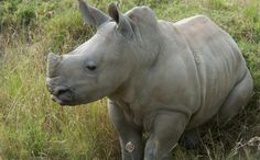 South Africa Wants to Sell Endangered Rhinos--This is INSANE!!!!!!