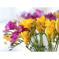 100 Freesia Petals Flower Seeds | Gorgeous DIY Garden Colorful Fragrant Home Gardening Decor Yard Balcony Plants Heirloom Rare