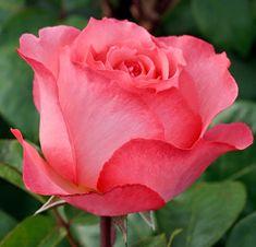 Pink Panther Hybrid Tea Rose