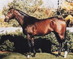 Storm Bird. Here we have another superstar son of Northern Dancer, bred by E.P.Taylor. Storm Bird was a $1 million dollar yearling purchase by Robert Sangster, and his associates. He did not disappoint. He was the undisputed champion two year old in Europe in 1980, a perfect 5 for 5 record capped by a resounding win in the Dewhurst Stakes. He is a full brother to champion Northernette and went on to become a great sire. His son Storm Cat carries his flag to today's important runners world…
