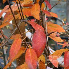 amelanchier arborea robin hill autumn colour -