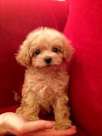 Havanese Puppy - I wonder if our shelter dog, Dusty, looked like this when he was little?!