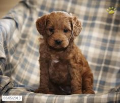 Samantha - Mini Goldendoodle Puppy for Sale in Coatsville, PA - Mini Goldendoodle - Puppy for Sale