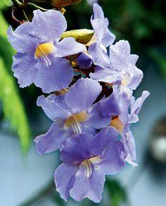 A tumbérgia gosta de sol pleno e regas regulares. Adubações periódicas estimulam a floração, que acontece, em especial, na primavera e no verão. Cresce rapidamente e cobre suportes com facilidade, além de escalar pérgolas e arcos. Requer poucos cuidado