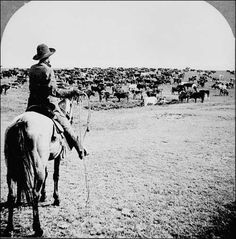 A cowboy prepares to drive a herd of cattle across the Great Plains. Description from 2012books.lardbucket.org. I searched for this on bing.com/images