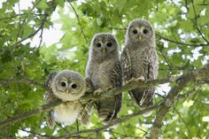釧路のフクロウ(北海道) Ural Owl Chicks of Kushiro, Hokkaido, Japan