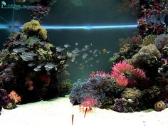 designing reef aquarims | Top: One of the most discussed Japanese Reef Tanks