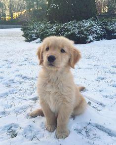 Join our Pinterest Fam: @SkinnyMeTea (130k+) ♡ Use 'Pinterest10' for 10% off your order ♡ golden retriever puppy