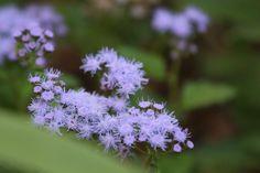 Conoclinium coelestinum 'Cori' (Blue Mistflower)