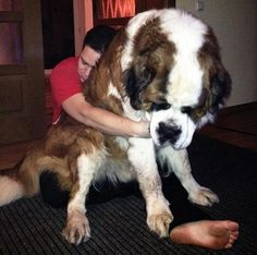 Photos of the biggest dogs in the world