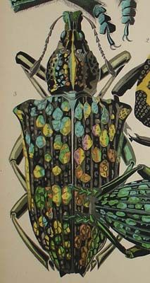 Beetle print (detail) by EA Seguy, ca.mid 1920s. Pochoir print from Insectes, Editions Duchartre et Van Buggenhoudt, Paris