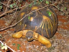 radiated tortoise, astrochelys radiata