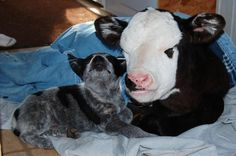 1000+ images about Cattle Dogs on Pinterest | Australian ...