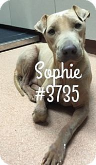 10/1/16 Sophie - URGENT - Alvin Animal Adoption Center in Alvin, Texas - ADOPT OR FOSTER - Adult Female Shar Pei/Whippet Mix