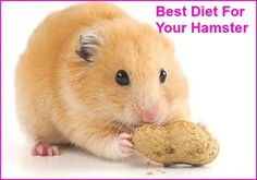 Most people don't know what to look for when it comes to hamster food, nor do they realize that the average hamster food doesn't completely fill a hamster's nutritional needs. Keep reading to learn what to include in a proper hamster diet.