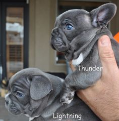 Thunder (Thor) & Lightning - blue brindles French Bulldog Puppies❤️❤️