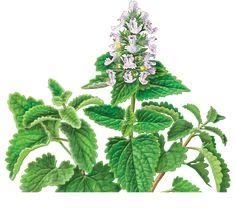 Home / Herbal Teas / Catnip Herbal Supplement #catsincare - Care for cat at Catsincare.com!