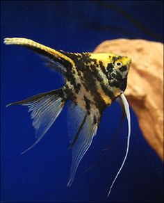 angelfish~growing up, mama took us to buy one as a pet. I remember her requesting the smallest one in the tank. He/she was a wonderful friend, soothing gurgling bubbling of splashy water sounds from the tank was sensory cleansing. When the fish died after a long happy life it was HUGE!!! HA! Love & care does that.