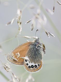 Alpine Heath Butterfly - Coenonympha gardetta